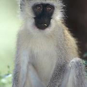 Vervet Monkey, (Cercopithecus aethiops) Masai Mara Game Reserve. Kenya, Africa.