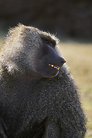 Kenya, region de Nakuru, parc national de Hell's Gate, babouin // Kenya, Nakuru county, Hell's Gate National Park, baboon