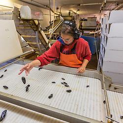 Jodi Smith sorts mussels at Moosabec Mussels, Inc. in Jonesport, Maine.