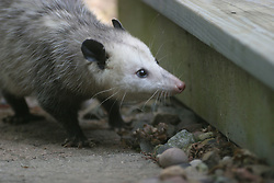 Oppossum (possum) seen in back yard of a home in Bloomington IL. (Photo by Alan Look)
