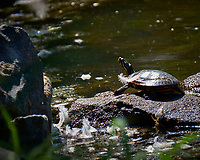 Turtle with a feather at the pond. Image taken with a Fuji X-T1 camera and 100-400 mm OIS lens (ISO 200, 400 mm, f/5.6, 1/210 sec).
