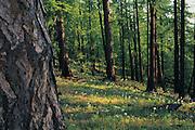 Siberian Larch (Larix russica) forest<br /> Darkhad Depression<br /> Northern Mongolia