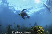 South African fur seal ( sea lion ), Arctocephalus pusillus pusillus, swimming over bull kelp, Ecklonia maxima, Cape of Good Hope, False Bay, South Africa