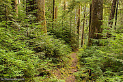 Young hemlocks form a dense thicket along the trail as they compete for dominance.