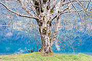 Early Spring Red Alder Tree Along the Banks of Cresent Lake, Olympic National Park, WA.