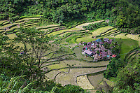 Bangaan rice terraces in Banaue. The rice terraces of the Ifugao have been built to follow the contours of the mountains. The knowledge handed down from one generation of Ifugao to the next, sacred traditions, and a delicate social balance have created this beautiful landscape that expresses the harmony between humans and the environment. The Banaue Rice Terraces are a great example of a living cultural landscape that can be traced as far back as two millennia ago in pre-colonial Philippines. They are the result of efforts of the Ifugao minority community that has occupied these mountains for thousands of years and passed on their skills from generation to generation. The Banaue Ifugao Rice Terraces represent an enduring illustration of an ancient civilization that has survived despite modernization.