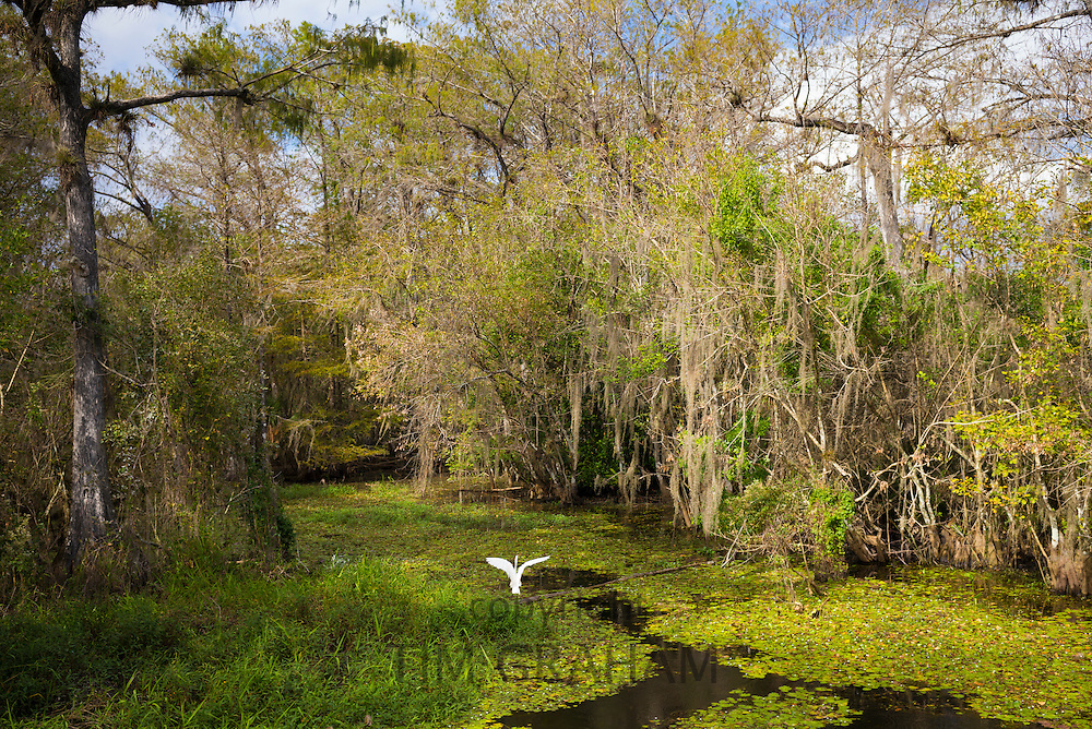 Great Egret in flight in wetlands swamp in the Florida Everglades, United States of America