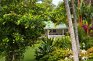Cyrtostachys (sealing wax palm) and Cordyline surrounding the colonial style house in Sunnyside Garden, St. George's Grenada, West Indies, Caribbean