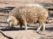 Mangalica pig - A Hungarian rare breed pig that is making a come back because of the health properties of its meat. Hungary .<br /> <br /> Visit our HUNGARY HISTORIC PLACES PHOTO COLLECTIONS for more photos to download or buy as wall art prints https://funkystock.photoshelter.com/gallery-collection/Pictures-Images-of-Hungary-Photos-of-Hungarian-Historic-Landmark-Sites/C0000Te8AnPgxjRg