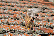 Lesser Kestrel - Falco naumanni - Mating pair
