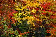 Autumn foliage in Eastern hardwood forest, Vermont.