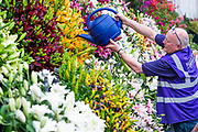 Watering at the Harts Nursery stand  in the Grand Pavillion - Press preview day at The RHS Chelsea Flower Show.
