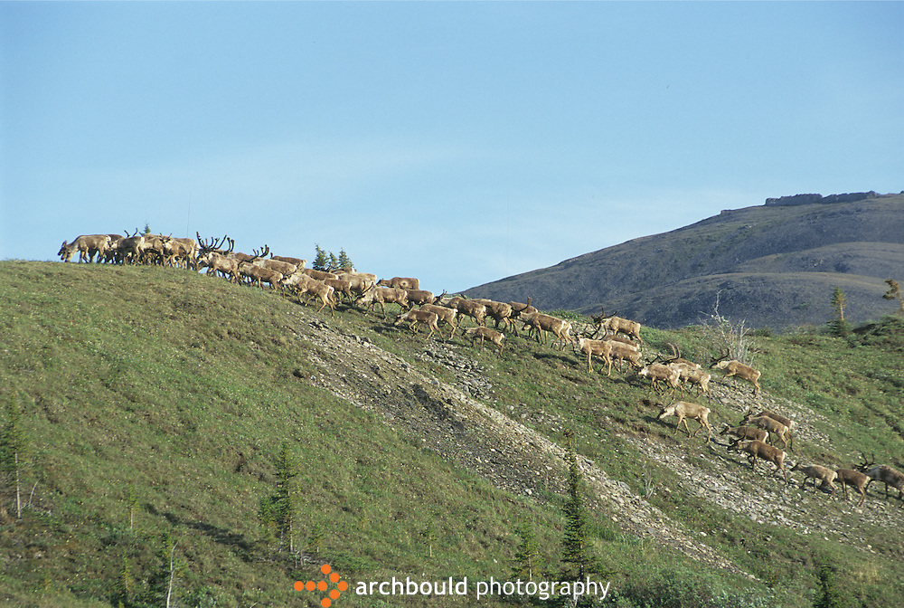 A herd of caribou move up a hill