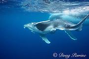 humpback whale, Megaptera novaeangliae, mother and female calf, accompanied by remoras, Vava'u, Kingdom of Tonga, South Pacific