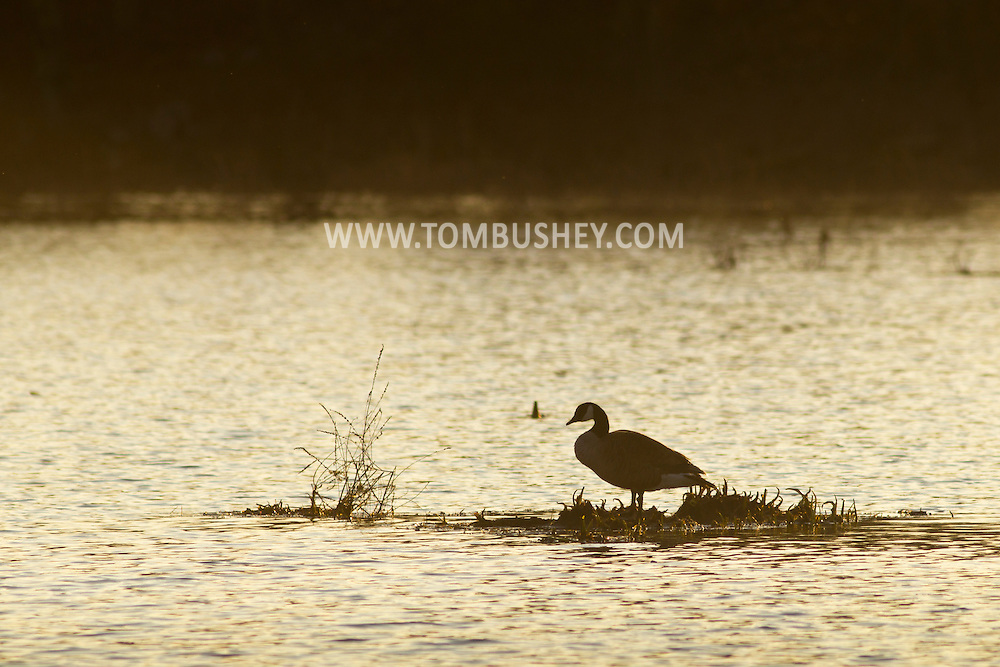 Mamakating, New York - A Canada goose stands on  a patch of plants at the Bashakill Wildlife Management Area on May 1, 2014.