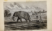 ELEPHANTINE AGRICULTURE From the autobiographical Book ' Struggles and triumphs; or, Forty years' recollections of P.T. Barnum ' By Barnum, P. T. (Phineas Taylor), 1810-1891 Published by The Courier Company Buffalo, N.Y. in 1879. Phineas Taylor Barnum (July 5, 1810 – April 7, 1891) was an American showman, politician, and businessman, remembered for promoting celebrated hoaxes and for founding the Barnum & Bailey Circus (1871–2017). He was also an author, publisher, and philanthropist,