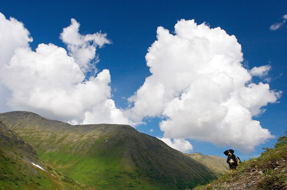 Alaska, Palmer Creek<br /> Bernese Mountain Dog with pack, perches on the edge of a dramatic skyline.