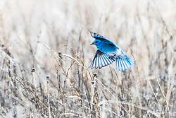 Flying Mountain Bluebird