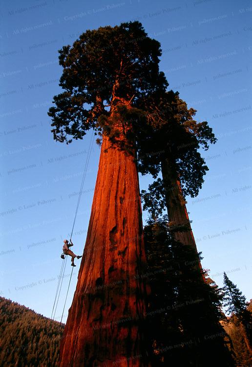 Andy Taylor climbing a giant redwood near Springville, California.