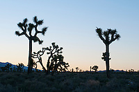 Joshua trees, Yucca brevifolia, silhouetted against the evening sky in Lee Flat, Death Valley National Park, California