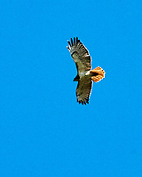 Red-tailed Hawk (Buteo jamaicensis). St. Petersburg, Florida. Image taken with a Nikon D300 camera and 200 mm f/2.0 VR lens.