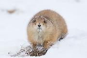 Black-tailed prairie dog in winter