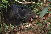 Collared pecary<br />Tayassu tajacu  <br />Amazon Rain Forest, ECUADOR.  South America<br />RANGE: SW USA, Central America to Argentina