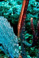 Trumpetfish, Aulostomus maculatus, Valenciennes, 1837, Grand Cayman
