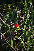 Israel, Red Anemone coronaria AKA Spanish marigold or Kalanit (in Hebrew)