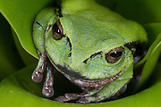 Andean Marsupial tree frog (Gastrotheca elicioi)<br /> CAPTIVE<br /> Central & north Ecuador<br /> ECUADOR. South America<br /> Threatened species due to habitat loss<br /> RANGE: Ecuador<br /> Andean & inter andean valleys north & central Ecuador. 2600m.<br /> New species<br /> Endangered declining population