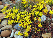 The yellow flowers and green succulent stems of biting stonecrop or wallpepper (Sedum acre) growing on pebbles behind the beach of Rye Bay. Rye Harbour Nature Reserve, Rye, Sussex, UK.