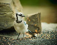 Blue Jay. Image taken with a Nikon D4 camera and 600 mm f/4 VR lens (ISO 400, 600 mm, f/4, 1/200 sec).