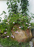 Pink Verbena growing in an old terracotta urn on the Orkos Estate, Paxos, Greece, Europe