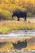 Bull Moose in Glacier National Park