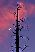 A new moon rises at sunset near an old tree burned during the Steamboat Fire, in Yosemite National Park, California.  The Steamboat fire destroyed 6,106 acres of woodland. Wildfires have historically been considered disasters, but it is now understood that fire is an integral component of forest life.  Naturally occurring fires thin the woodlands, increase sunlight to the forest floor, and allow for recycling of nutrients to the soil.  Thus, wildfires actually encourage the germination and regrowth of the forest plants and trees. Indeed, for over 4,000 years, the American Indians used fire in this area to cultivate the landscape.