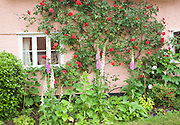 Red rambling roses growing on pink cottage wall, Suffolk, England