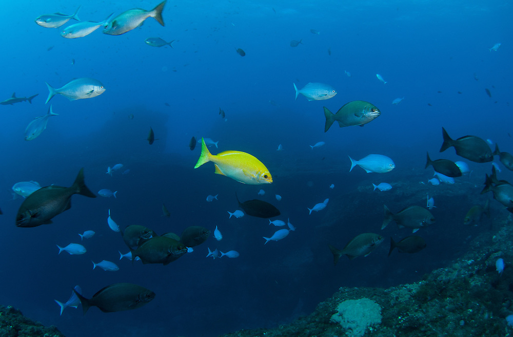 Kermadecs Marine Reserve Beaked Drummer, Kyphosus pacificus