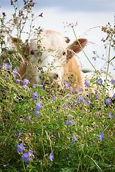 Meadow Cranesbill with cow beyond. Geranium pratense