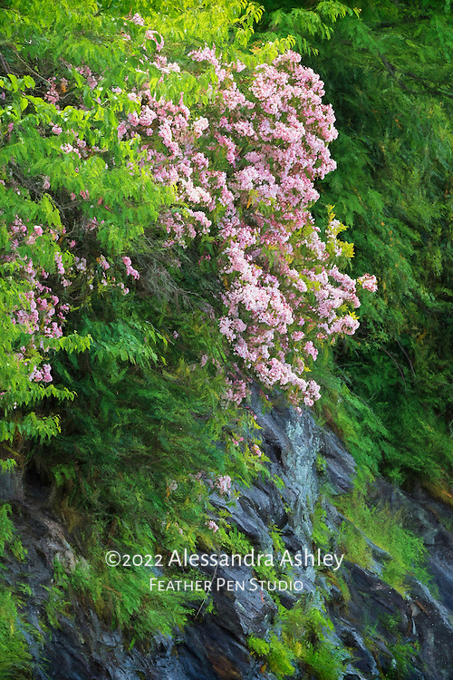Mountain laurel growing in the wild on mountainside amid lush greenery.  Blue Ridge Parkway, Asheville, North Carolina.