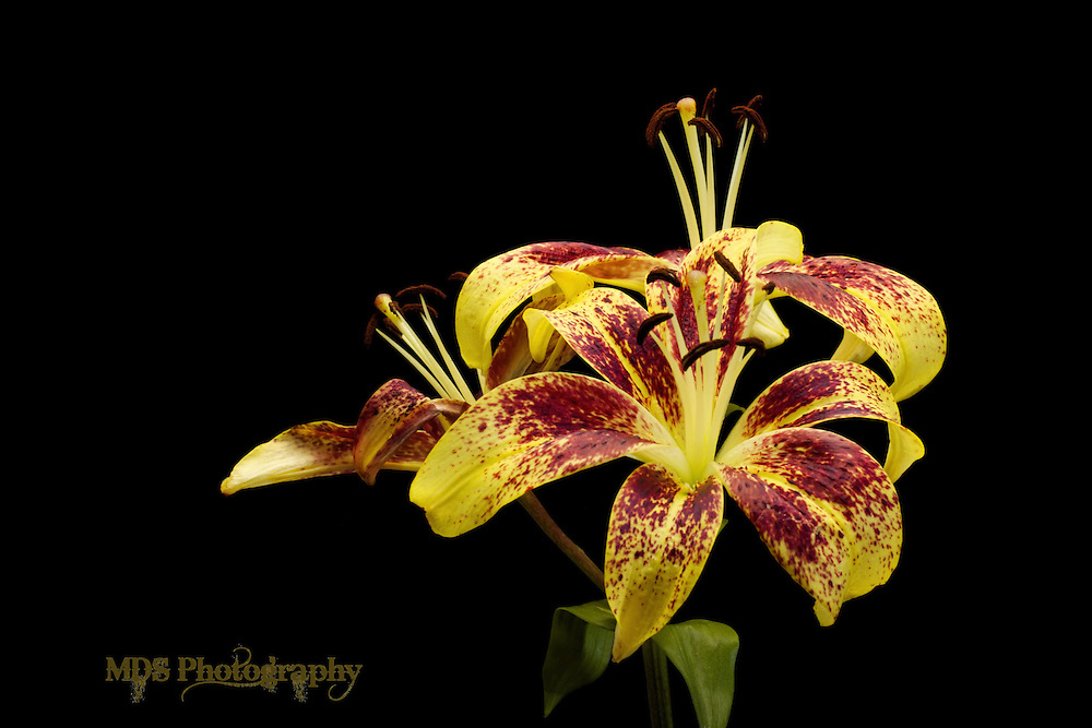 Yellow Lilly w/ purple speckles