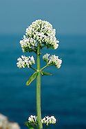 RED VALERIAN, WHITE FORM Centranthus ruber (Valerianaceae) Height to 75cm. Upright, branched, hairless and greyish green perennial. Grows on broken, rocky ground, chalk cliffs and old walls. FLOWERS are 8-10mm long, the corolla reddish or pink (sometimes white); borne in dense terminal heads (May-Sep). FRUITS have a feathery pappus. LEAVES are ovate, untoothed and borne in opposite pairs. STATUS-Introduced and widely naturalised but most frequent in coastal districts.