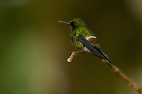 Green Thorntail Hummingbird (Popelairia conversii)<br />