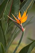 Bird of Paradise, Hawaii<br />