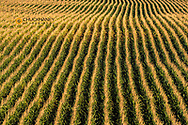 Rows of full growth corn near Tripp, South Dakota, USA