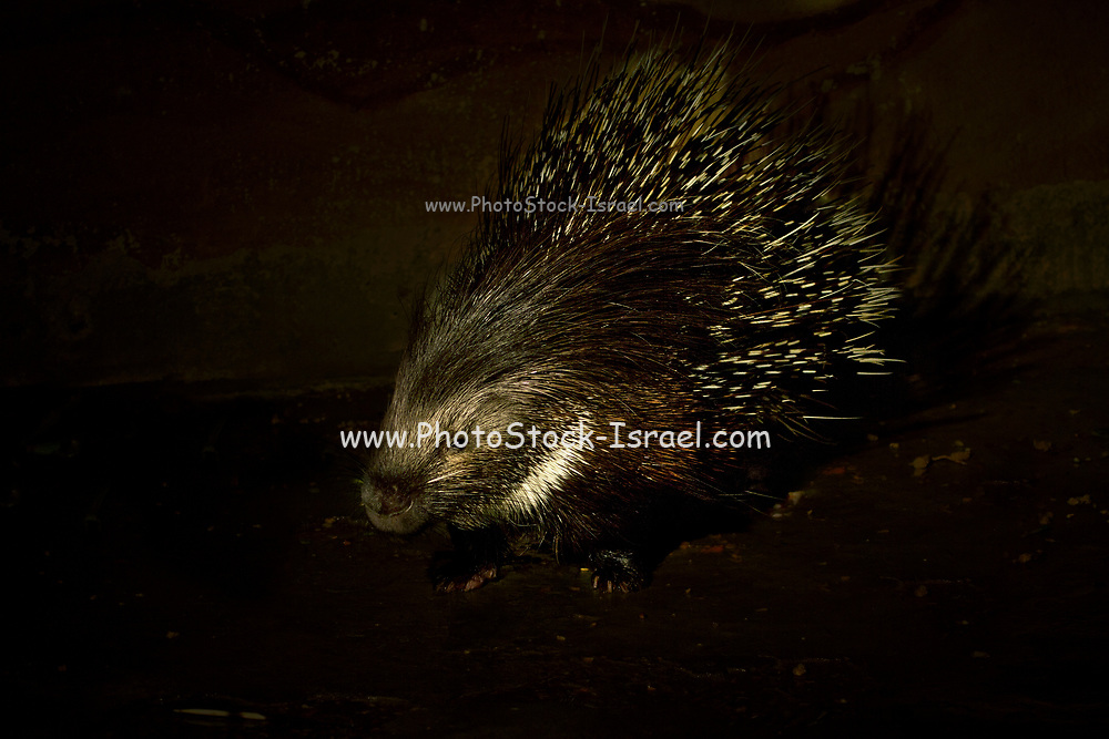 Yong Indian Crested Porcupine (Hystrix indica), or Indian Porcupine is a rodent, found throughout southern Asia and the Middle East. Photographed at night in the Negev Desert, Israel