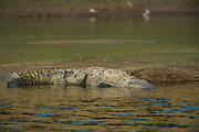 Mugger crocodile (Crocodylus palustris)<br /> National Chambal Sanctuary or National Chambal Gharial Wildlife Sanctuary<br /> Madhya Pradesh, India<br /> Range: Indian Subcontinent & surrounding countries.<br /> VULNERABLE