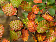 """Lenga (Nothofagus, or Southern Beech) leaves turn red, gold, and yellow in late summer and fall, in Tierra del Fuego National Park, Ushuaia, Argentina, South America. The foot of South America is known as Patagonia, a name derived from coastal giants, Patagão or Patagoni, who were reported by Magellan's 1520s voyage circumnavigating the world and were actually Tehuelche native people who averaged 25 cm (or 10 inches) taller than the Spaniards. Published in """"Light Travel: Photography on the Go"""" book by Tom Dempsey 2009, 2010."""