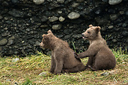 Brown bear cubs cuddle together at the McNeil River State Game Sanctuary on the Kenai Peninsula, Alaska. The remote site is accessed only with a special permit and is the world's largest seasonal population of brown bears in their natural environment.