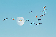 Middletown, New York - Canada geese fly past the waning gibbous moon on Oct. 2, 2017.