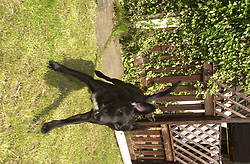 Jake Beaware of the Dog<br /><br />Image Copyright Paul David Drabble<br /><br />29 June 2003<br /><br />Copyright  Paul David Drabble<br /> [#Beginning of Shooting Data Section]<br />Nikon D1 <br /> 2003/06/29 13:11:53.2<br /> JPEG (8-bit) Fine<br /> Image Size:  2000 x 1312<br /> Color<br /> Lens: 24mm f/2.8<br /> Focal Length: 24mm<br /> Exposure Mode: Programmed Auto<br /> Metering Mode: Spot<br /> 1/250 sec - f/8<br /> Exposure Comp.: 0 EV<br /> Sensitivity: ISO 200<br /> White Balance: Auto<br /> AF Mode: AF-C<br /> Tone Comp: Normal<br /> Flash Sync Mode: Front Curtain<br /> Auto Flash Mode: External<br /> Color Mode: <br /> Hue Adjustment: <br /> Sharpening: Normal<br /> Noise Reduction: <br /> Image Comment: <br /> [#End of Shooting Data Section]
